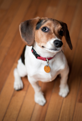 Can dogs hardwood floors co exist live happily ever after for Hardwood floors with dogs